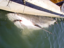 Carcharhinus Leucas - Bull Shark. Caught on a long-line to be tagged and released stock image