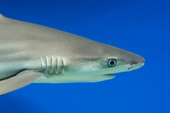 Carcharhinus melanopterus -  blacktip reef shark Royalty Free Stock Images