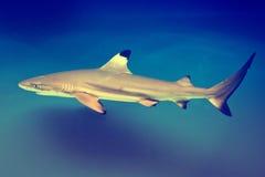 Carcharhinus melanopterus - blacktip reef shark. Saltwater fish stock image