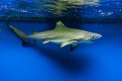 Carcharhinus melanopterus -  blacktip reef shark Royalty Free Stock Photos