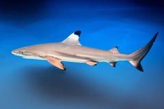 Carcharhinus melanopterus - blacktip reef shark. Saltwater fish stock images