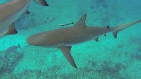 Carcharhinus perezii stock footage