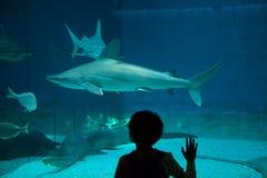carcharhinus plumbeus sandbar rekin Obrazy Stock