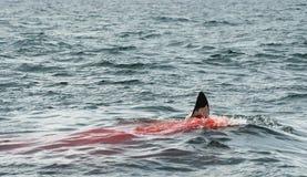一只大白鲨鱼(噬人鲨属carcharias)的飞翅在血液 库存照片