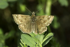 Carcharodus alcae / Mallow Skipper. Carcharodus alcae butterfly close-up / Mallow Skipper Stock Photography