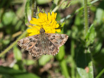 Carcharodus alceae, Mallow skipper butterfly. Hesperiidae. Closeup on yellow dandelion Royalty Free Stock Photo