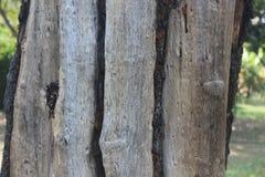 Carcinia indica trädstam i parkera Royaltyfria Bilder