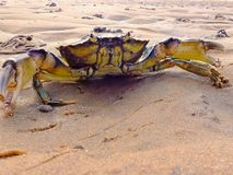 Shore Crab. Carcinus maenas also known as Common shore crab and green crab on a sandy beach in the UK with Lugworm casts also visible royalty free stock photos