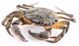 Carcinus maenas -edible alive crab. Royalty Free Stock Photo