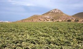 Carciofi che crescono - agricoltura moderna intensiva Fotografia Stock Libera da Diritti