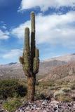 Cardà ³ n, typiska Andean högländer för kaktus Arkivbild