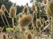 Cardère de Fullers dans un jardin Image libre de droits