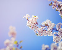 Card with beautiful blooming white sakura flowers tree branch on blue sky background Royalty Free Stock Images