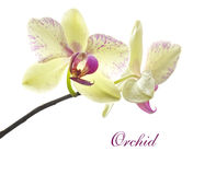 Card with beautiful yellow-pink orchid Stock Photography