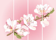 Card with blossoming oriental cherry branch Royalty Free Stock Photography