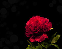 Card with bright peony Royalty Free Stock Image