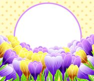 Card with crocuses. Spring flower. Perfect for wedding, greeting or invitation design. Illustration Stock Photography