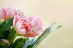 Card with delicate pink tulips Royalty Free Stock Images