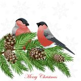 Card with fir tree branches and bullfinch birds. On white background Royalty Free Stock Image