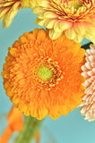 Card with gerberas. Royalty Free Stock Images