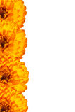 Card with orange  flowers Stock Images