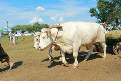 Card with oxen during Sorochintsy Fair in Velyki Sorochyntsi, Ukraine. Velyki Sorochyntsi -August 20, 2016:Card with oxen during Sorochintsy Fair in Velyki stock image