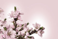 Card with peach flowers Royalty Free Stock Image