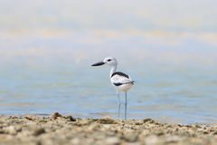 Card Plover on the beach. Card Plover [ Dromas Ardeola ] on the beach ,Shorebirds Royalty Free Stock Images