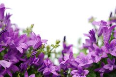 Card with purple campanula flowers isolated on white Royalty Free Stock Photos