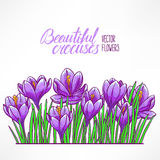 Card with purple crocuses Royalty Free Stock Image