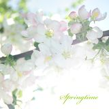 Card 'Seasons': Spring. Apple blossom Royalty Free Stock Photography