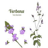 Template verbena stock illustration