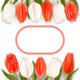 Card with tulips and border. Red and white tulips on a light background with red border for text Royalty Free Stock Photo