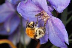 Carda-abeja común (pascuorum del Bombus) Fotografía de archivo