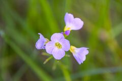 Cardamine nuttallii Royalty Free Stock Photography