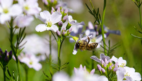 Cardamine pratensis cockooflower lady`s smock and bee. Cockooflower or lady`s smock is a flowering plant in the family Brassicaceae Stock Image
