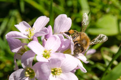 Cardamine pratensis cockooflower lady`s smock and bee. Cockooflower or lady`s smock is a flowering plant in the family Brassicaceae Stock Images