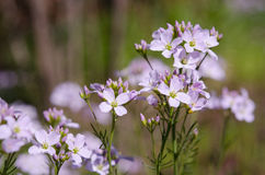 Cardamine pratensis cockooflower lady`s smock. Cockooflower or lady`s smock is a flowering plant in the family Brassicaceae Stock Image