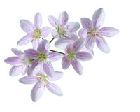 Cardamine Pratensis kwiat Obraz Stock