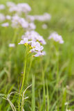 Cardamine pratensis L. (cuckooflower, ladys smock). Plant of the family Brassicaceae Stock Photos