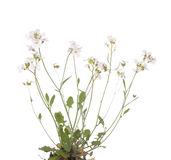 Cardamine resedifolia. Little white flower (Cardamine resedifolia) on white background Royalty Free Stock Photo