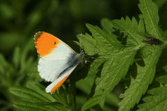 Cardamines ενός τα αρσενικά πορτοκαλής-ακρών πεταλούδων Anthocharis εσκαρφάλωσαν σε ένα φύλλο Στοκ φωτογραφία με δικαίωμα ελεύθερης χρήσης