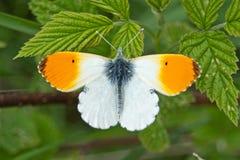 Cardamines Anthocharis πεταλούδων πορτοκαλής-ακρών Στοκ εικόνα με δικαίωμα ελεύθερης χρήσης