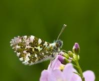 Cardamines mâles d'Anthocharis sur une fleur pourprée Image stock