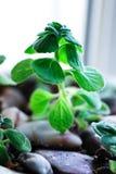 Cardamom geraniums Stock Photos