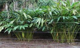 Cardamom plantation Stock Photos