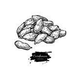 Cardamom seed heap vector hand drawn illustration. Isolated spice object. Engraved style seasoning. Detailed organic product sketch. Cooking flavor ingredient royalty free illustration