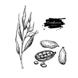 Cardamom vector hand drawn illustration set with plant and seeds Stock Images