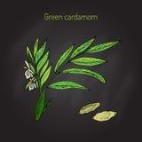 Cardamomo verde o verdadero de la planta aromática ilustración del vector