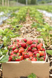 A cardboard box full with fresh red strawberries in the field Royalty Free Stock Images